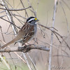 White-throated Sparrow <br /> Bridgeton Riverwoods Park and Trail