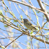 Ruby-crowned Kinglet <br /> Bridgeton Riverwoods Park and Trail