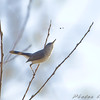 Blue-gray Gnatcatcher <br /> Bridgeton Riverwoods Park and Trail