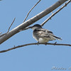 Eastern Kingbird <br /> Bridgeton Riverwoods Park and Trail