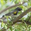 Yellow-rumped Warbler (Myrtle's)  <br /> Creve Coeur Marsh