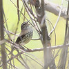 Louisiana Waterthrush <br /> Creve Coeur Marsh