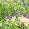 Savannah Sparrow <br /> Creve Coeur Marsh