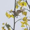 Tennessee Warbler <br /> Creve Coeur Marsh