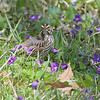 Savannah Sparrow <br /> Creve Coeur Marsh