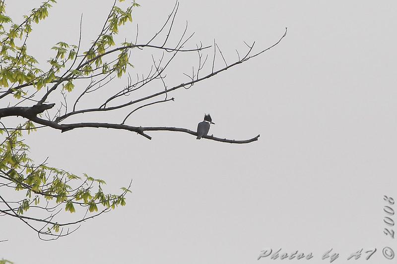 Belted Kingfisher <br /> Bridgeton Trail