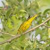 Yellow Warbler <br /> Bridgeton Trail