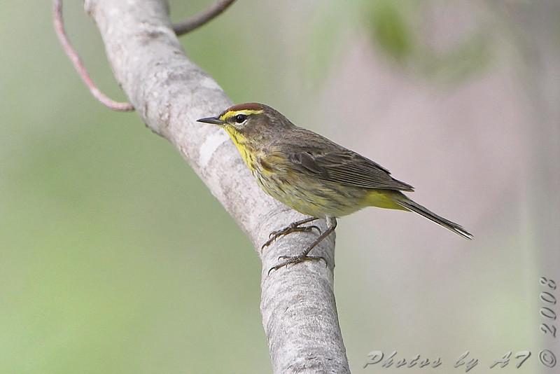 Palm Warbler <br /> Bridgeton Trail
