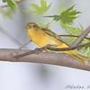 Summer Tanager (Female) <br /> Bridgeton Trail