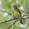 Great Crested Flycatcher <br /> Bridgeton Trail
