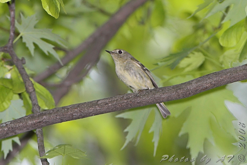 Ruby-crowned Kinglet <br /> Bridgeton Trail