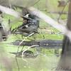Louisiana Waterthrush <br /> Bridgeton Trail