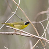 Common Yellowthroat <br /> Bridgeton Trail