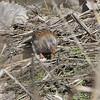 Field Sparrow <br /> Bridgeton Riverwoods Park and Trail