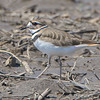 Killdeer <br /> Creve Couer bottoms