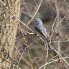 Blue-gray Gnatcatcher <br /> Bridgeton Riverwoods Park and Trail