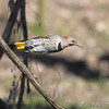 Northern Flicker <br /> Bridgeton Riverwoods Park and Trail
