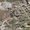 Field Sparrow <br /> Bridgeton Riverwoods Park and Trail