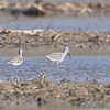 Lesser and Greater Yellowlegs <br /> Creve Coeur Mill Road