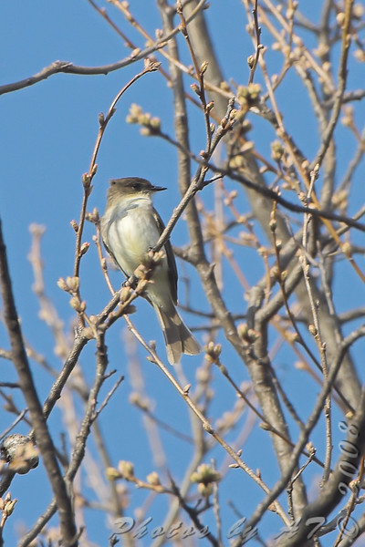 Eastern Phoebe <br /> Bridgeton Riverwoods Park and Trail
