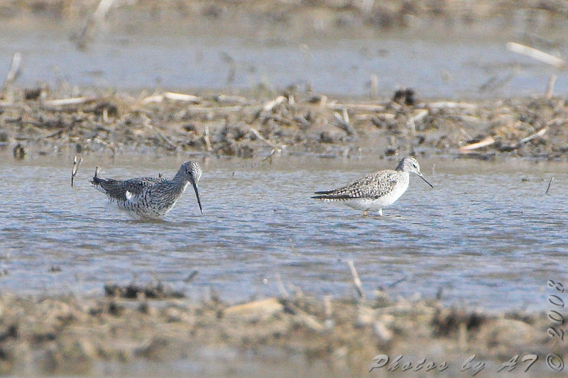Greater and Lesser Yellowlegs <br /> Creve Coeur Mill Road
