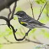 Yellow-rumped Warbler (Myrtle's) <br /> Bridgeton, MO <br /> 2008-04-25