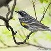 Yellow-rumped Warbler <br /> Bridgeton, MO <br /> 2008-04-25