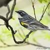 Yellow-rumped Warbler <br /> Bridgeton, MO <br /> 2008-04-25
