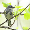Yellow-rumped Warbler <br /> Bridgeton, MO <br /> 2008-04-24