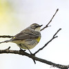 Yellow-rumped Warbler (Myrtle's)  (Female) <br /> Bridgeton, MO <br /> 2008-04-26