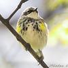 Yellow-rumped Warbler (Myrtle's) <br /> City of Bridgeton <br /> St. Louis County, Missouri  <br /> 2008-04-28