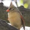 Northern Cardinal <br /> City of Bridgeton <br /> St. Louis County, Missouri <br /> 2008-04-28