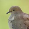 Mourning Dove <br /> Bridgeton, MO <br /> 2008-04-26