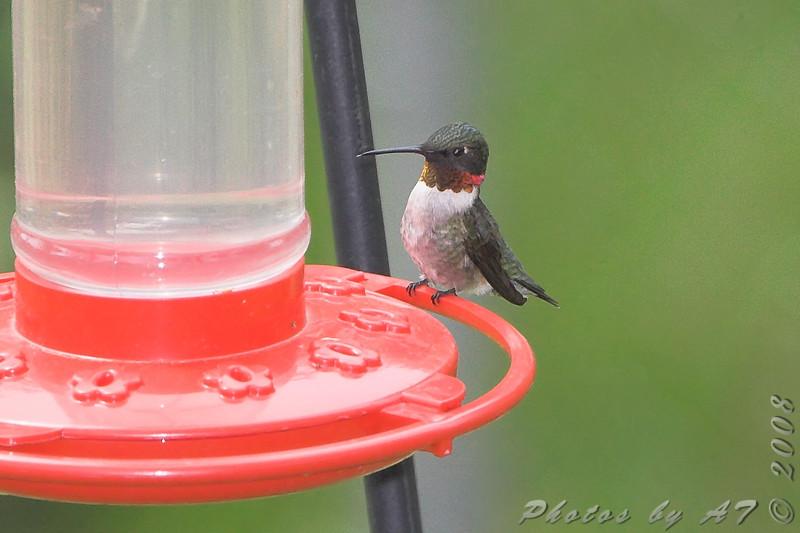 Ruby-throated Hummingbird <br /> City of Bridgeton <br /> St. Louis County, Missouri <br /> 2008-04-29