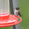 Ruby-throated Hummingbird <br /> Bridgeton, MO <br /> 2008-04-29