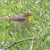 Palm Warbler <br /> City of Bridgeton <br /> St. Louis County, Missouri   <br /> 2008-04-28