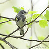 Yellow-rumped Warbler (Myrtle's) <br /> Bridgeton, MO <br /> 2008-04-24
