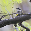 Yellow-rumped Warbler  <br /> (Myrtle's) <br /> Bridgeton, MO <br /> 2008-04-24