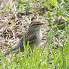 Chipping Sparrow <br /> Bridgeton, MO <br /> 2008-04-28