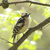 Downy Woodpecker <br /> Bridgeton, MO <br /> 2008-04-28