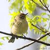Palm Warbler <br /> Bridgeton, MO <br /> 2008-04-26