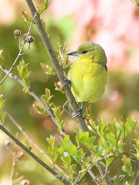 Orchard Oriole (Female) <br /> Bridgeton, MO <br /> 2008-04-29