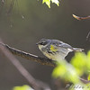 Yellow-rumped Warbler (Myrtle's) <br /> Bridgeton, MO <br /> 2008-04-26
