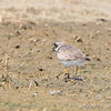Semipalmated Plover <br /> Keeteman Rd/Old Monroe sod farm <br /> <br /> No. 197 on my Lifetime List of Birds <br /> Photographed in Missouri
