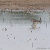Greater Yellowlegs <br /> Firma Road