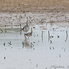 Greater Yellowlegs and (Lesser Yellowlegs?)