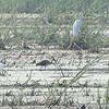 White Ibis <br /> Horseshoe Lake