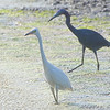 Little Blue Herons <br /> Horseshoe Lake