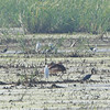 White Ibis <br /> Horseshoe Lake