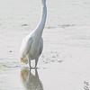 Juvenile Little Blue Heron <br /> Horseshoe Lake